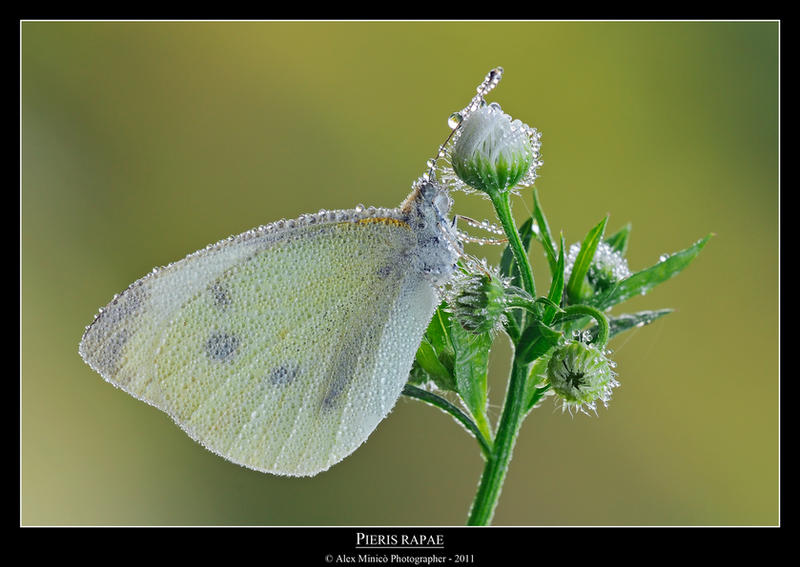 Pieris rapae by SelvaggioRocker