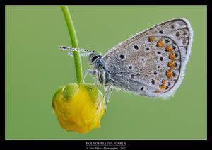 Polyommatus icarus 2