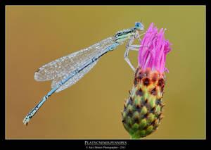 Platycnemis pennipes 4
