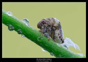 Acanalonia conica 2