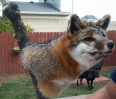 Pedestal Grey Fox