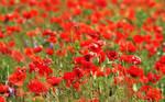 Wallpaper - poppy field