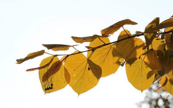 Linden in autumn by nicubunu
