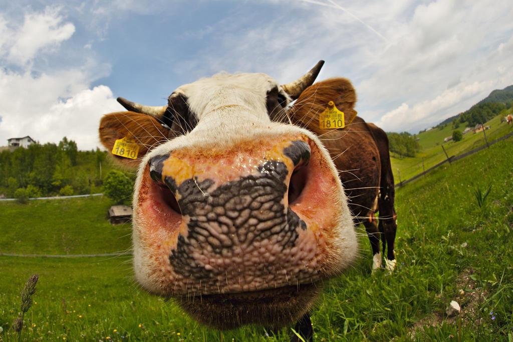 Wet cow kiss by nicubunu