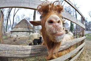 Friendly goat by nicubunu