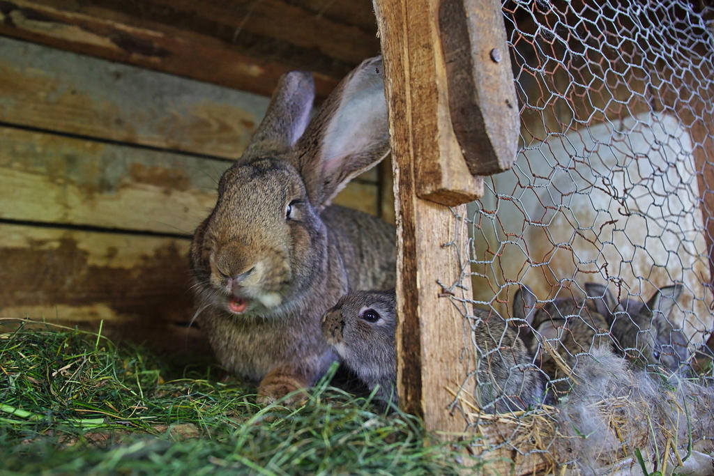 Bunny family by nicubunu