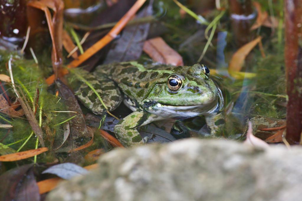 The frog by nicubunu