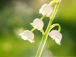Lilly Of The Valley II by onixaStock