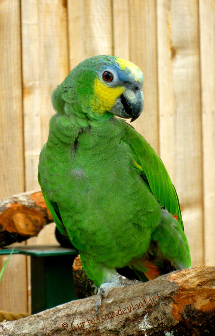 Blue-Fronted Amazon by Curtessaz