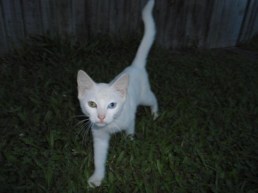 local white cat orange blue eyes by returnofadamspong on ... White Cat With Orange Eyes