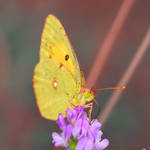 Colias hyale IV by Metalfire77
