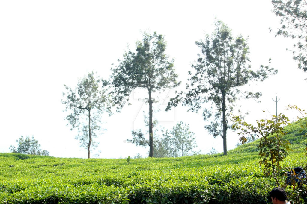 Kerala Tea gardens by Keralataxis