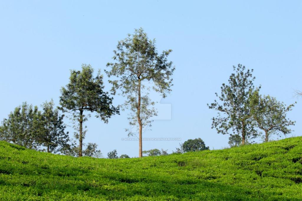 Wayanad tea plantation by Keralataxis