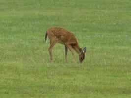 Deer 2 by Toranih-stock