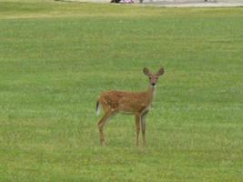 Deer 3 by Toranih-stock