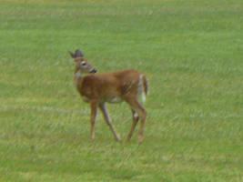 Deer 4 by Toranih-stock