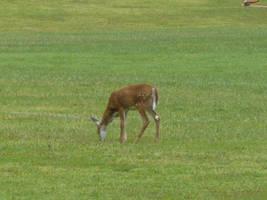 Deer 5 by Toranih-stock
