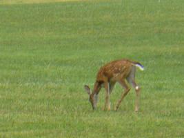 Deer 7 by Toranih-stock