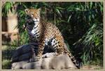 Jaguar Stock 5