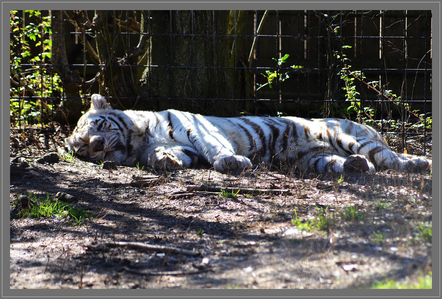 Bengal Tiger by Vesperity-Stock