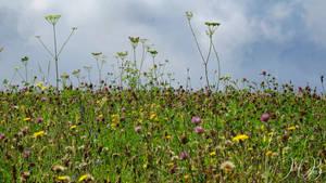 Wild Mountain Meadow