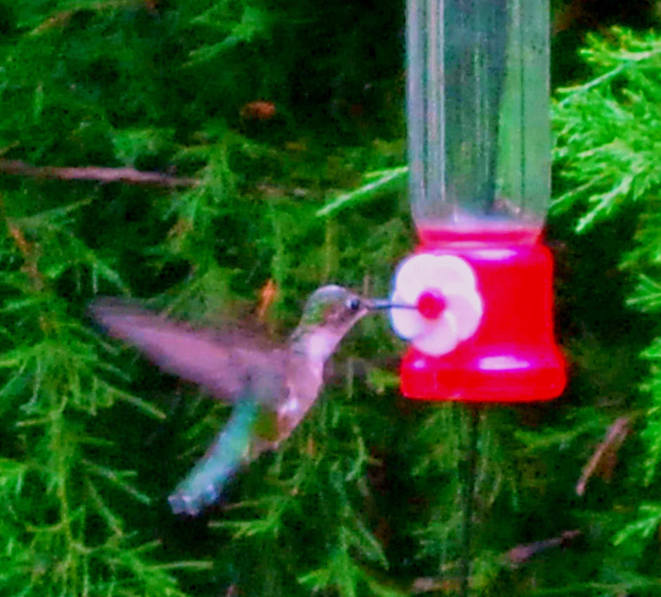 Photograph of my Hummingbird by amy-octaputer