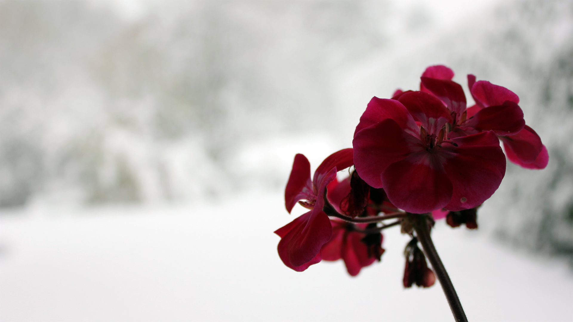 Snowflower Wallpaper by TheLonelyNumber on DeviantArt