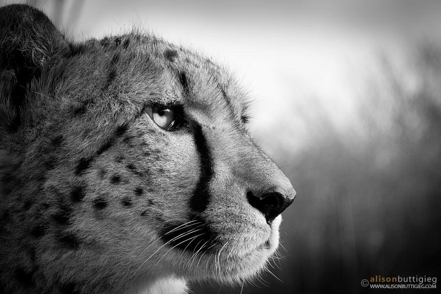 Pondering-Cheetah1 by alisonbuttigieg