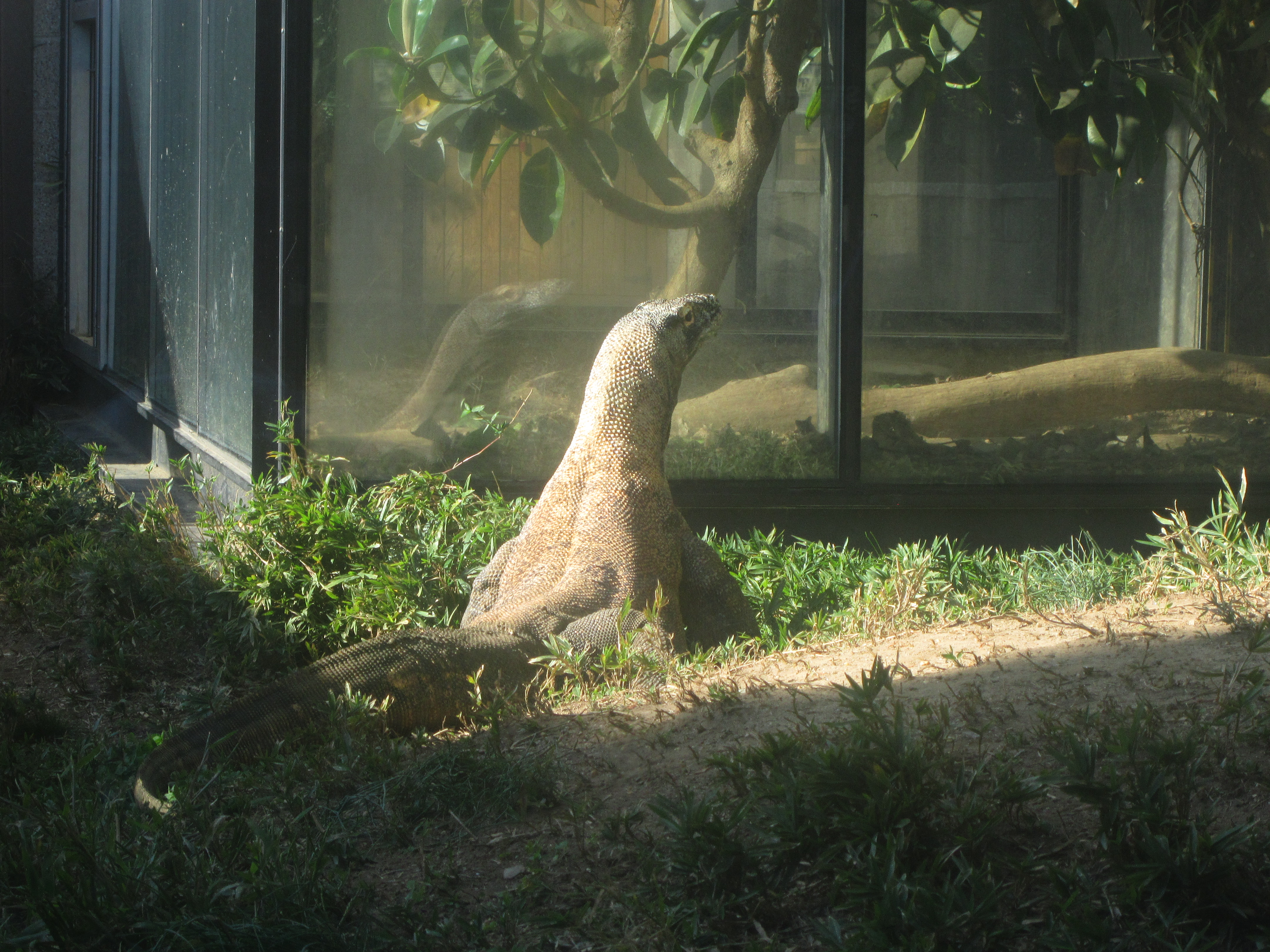 Komodo dragon taking a sunbath by AudeS