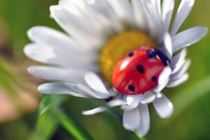 Autumnal Ladybug by tomsumartin