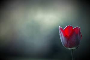 Tulip by tomsumartin