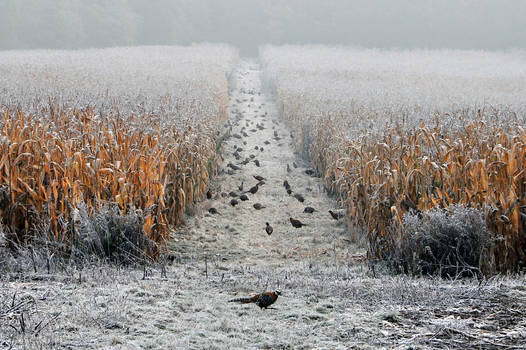 Where they live pheasants