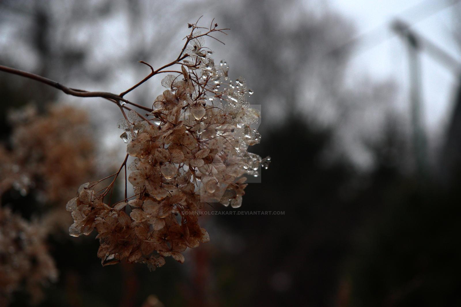 DominikOlczakArt Dead Flowers In Rain Drops By