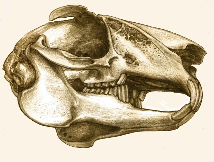 rabbit skull