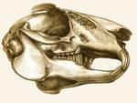 Rabbit's skull