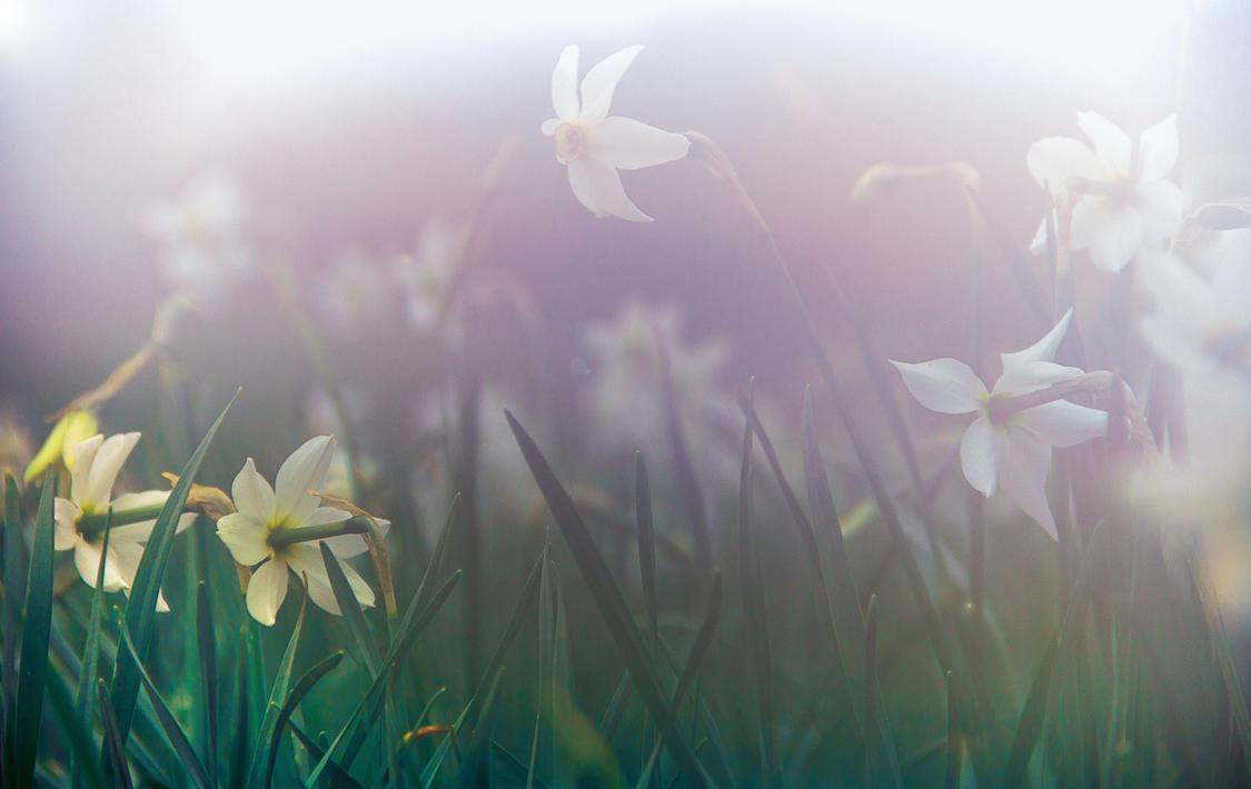 Wild Misty Narcissus by ekstradicija