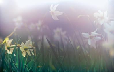 Wild Misty Narcissus