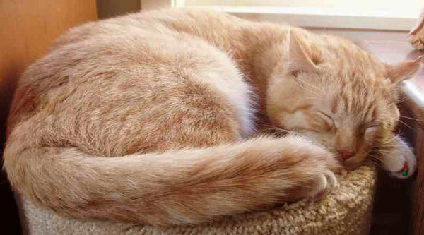 Cat orange tabby ginger tom sleeping by Gaia93