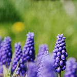 Purple Bloom by ashlite