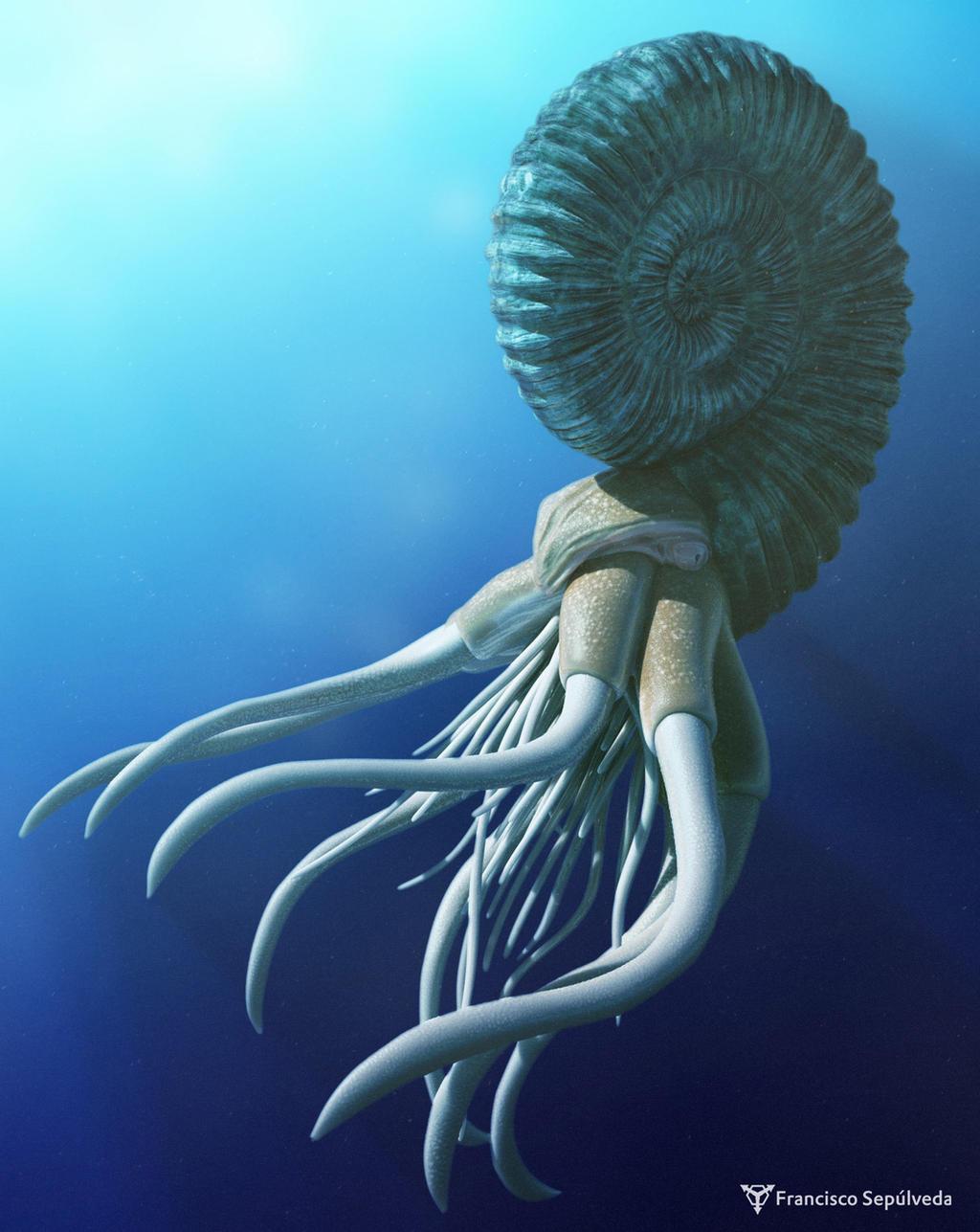 Ammonite / Ammonoidea
