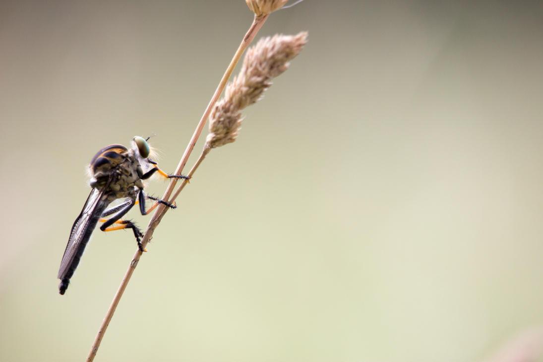 Asilidae Fly by polkovniknades