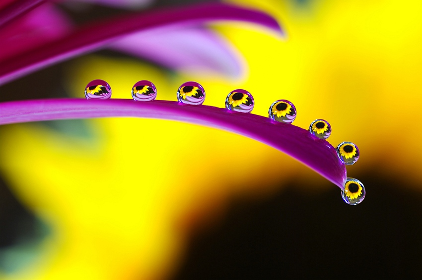 Sunflower drops by hubetek