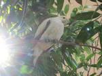 Pied Imperial Pidgeon