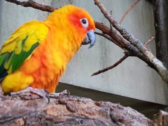 Sun Parakeet by shaykana