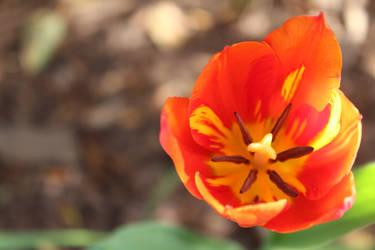 Orange - Red Tulip by Gamerlunalicious
