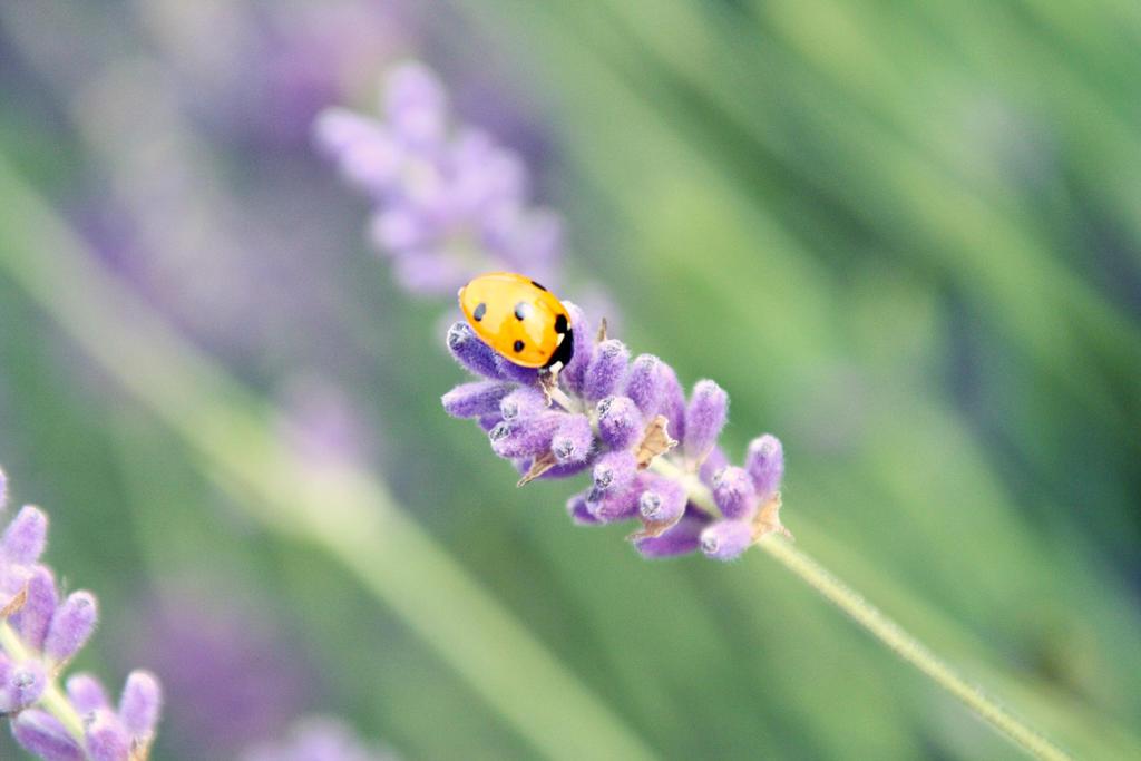 Mayfield Lavender fields 4 by Lamb--Ox