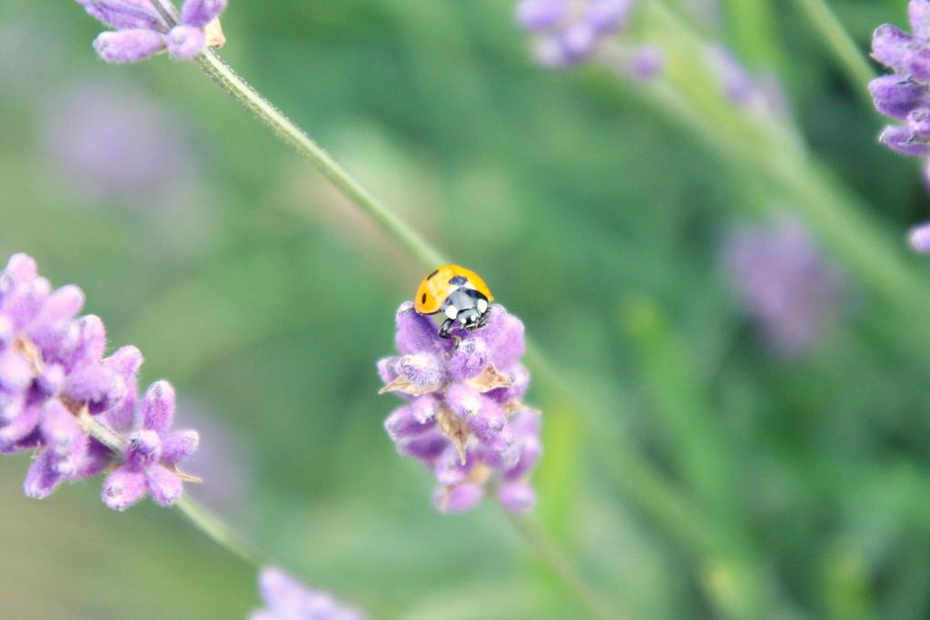 Mayfield Lavender fields 5 by Lamb--Ox