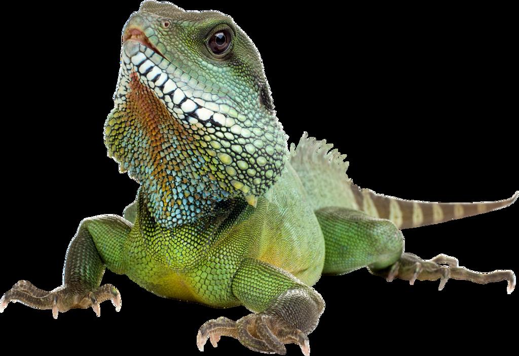 Iguana by hrtddy on DeviantArt