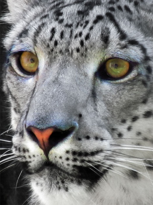 Snow leopard face side - photo#23