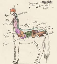 Centaur Anatomy 2 by TaylorBrooke123
